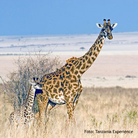 Girgaffen beobachten in Tanzania auf Campingsafari