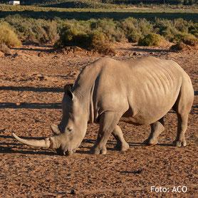 Ein Nashorn, beobachtet auf einer Safari, Südafrika