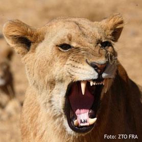 Löwin im Nationalpark Zimbabwe