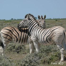 Zebras in einem Reservat in Namibia