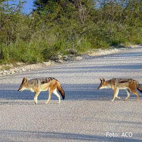 Schakale überqueren eine Strasse in Namibia
