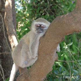 Zimbabwe Lodge Safaris Tierwelt - Reisen durch Zimbabwe - Pavian