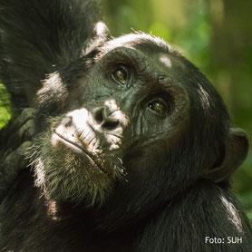 Schimpansen-Beobachtung auf einer Lodgesafari in Uganda