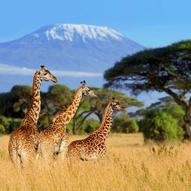 Giraffen in Tanzania auf einer Wildbeobachtung