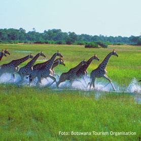 Herden von Giraffen Tierbeobachtung auf Safari in Botswana