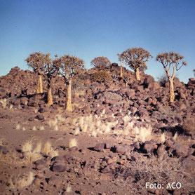Keetmanshoop Köcherbaumwald in Namibia