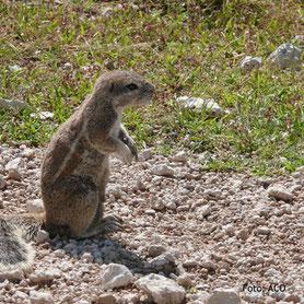 Eichhörnchen in Etosha, Namibia