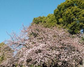 初音桜画像