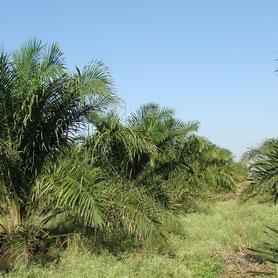 Ölpalmenplantagen zerstören Regenwald