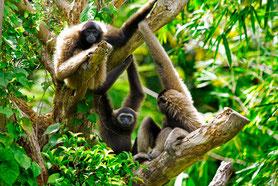 Gibbons in Bokeo