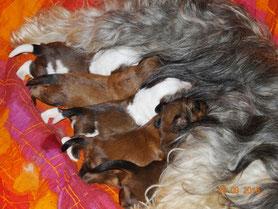 Tibet Terrier Welpen G-Wurf du joyeux Berger