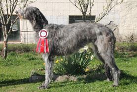 Hübsche, elegante Deerhounds von Alshamina..., Scottish Deerhound Welpen aus vertrauensvoller Familien Zucht in Deutschland...., unsere Deerhound Welpen sind im Besitz einer FCI/VDH/DWZRV Ahnentafel!