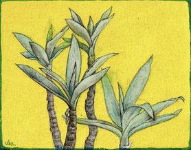 concinna plant