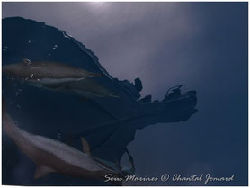 reflets, mer rouge,dauphins