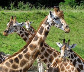 Gelsenkirchen - Giraffen im Zoom