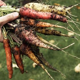 Sortenvielfalt Karotten