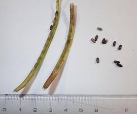 左 種子の鞘=花穂(かすい) 右 種子