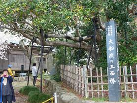 1400年前の古木(三面椿)