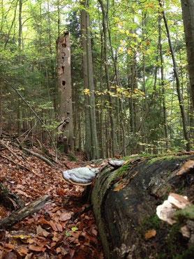 Liegendes (vorn) und stehendes Totholz [© Foto: Dr. Gerhard Strobel]