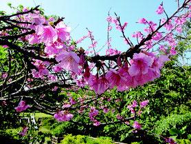 濃紅色の花が満開となったヒカンザクラ=7日午前、バンナ公園