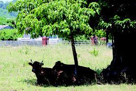 33度の猛暑に牛たちも木陰に逃げ込んだ=28日午後1時すぎ、石垣市大浜