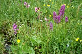 Orchideenwiese Eigenzeller Heide