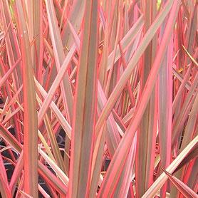Phormium 'Flamingo'