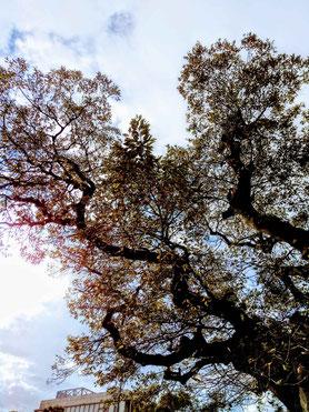 鎌倉 若宮大路 由比ヶ浜 木