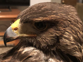 Águila, control de aves