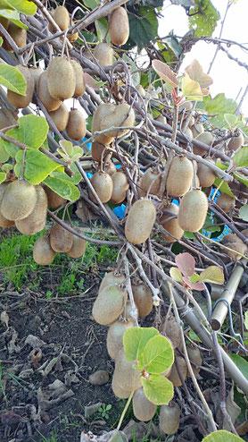 ミモレ農園 農薬不使用 ひめ冬瓜