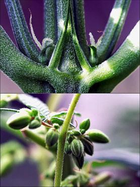 Hanfblüten Cannabisblüten in der Vorblüte der Wachstumsphase