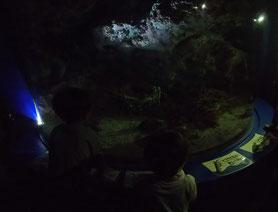 ニシキエビ セミエビのの水槽