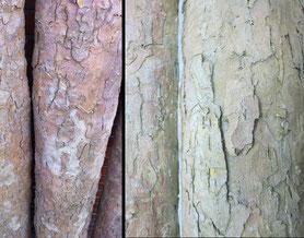 Platanen Stämme in unterschiedlichen Durchmessern