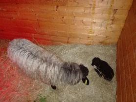 Mutterschaf und Lamm in der Box (Foto:NABU-Oberbiel)