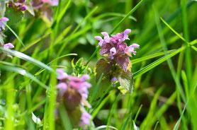 Purpurrote Taubnessel, (Lamium purpureum)   Foto: P. Britz