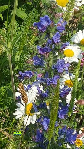 Wildblumensaum mit Margariten und Blauem Natterkopf im Sonnenschein von K.D. Michaelis