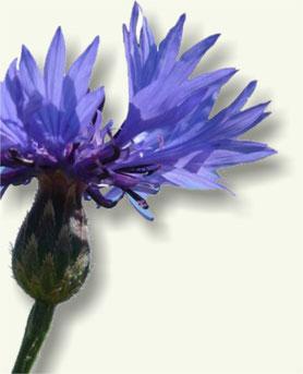 Flor y tallo del Aciano
