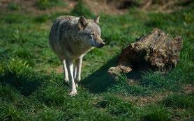 Wolf im Tierpark Gotha, Foto: D. Bernkopf