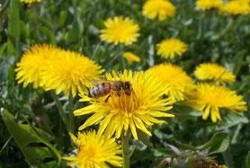 Foto - Honigbiene auf Löwenzahnblüte