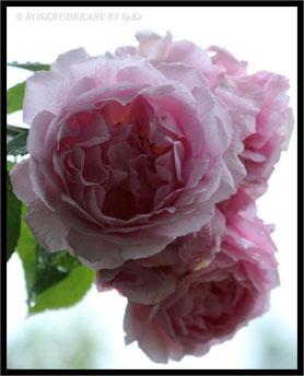 die letzten Rosen meiner Constanze Spry