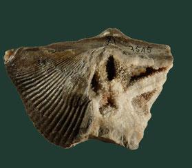 Cyrtospirifer grabaui (spiriefrid),Ob. Devon, Barvaux-sur-Ourthe, Belgien