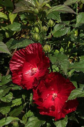 Stauden-hibiskus-gärtnerei-bartels-staudenhibiskus