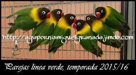 aviario miguel granada, personata verde ancestral, personatus green wildtype 2016