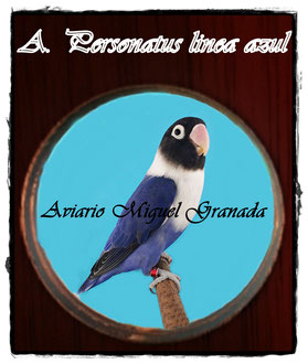 Personatus azul d violeta Df, violeta Sf y Df