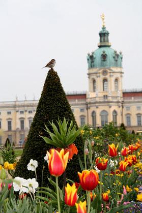 Ein  Spatz sitzt an der Baumspitze, umgeben von Frühlingsblumen im Barockgarten Schloss Charlottenburg. Foto: Helga Karl 1.Mai 2010