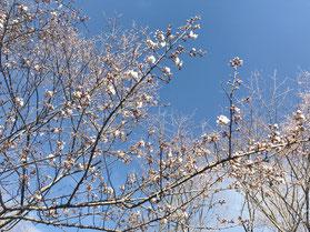 桜の花が咲き始めました
