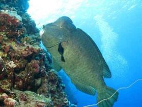 Büffelkopfpapgeienfisch
