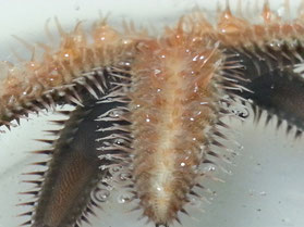 Astropectinidae (管足)
