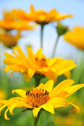Makroaufnahme einer gelben Blume Feldblume Blüte Frühling
