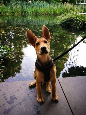 Linus, deutscher Schäferhund